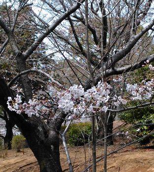 公園の桜0406-1.jpg