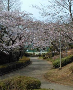 公園の桜0406-5.jpg