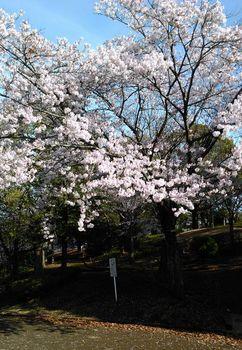 公園の桜0410-2.jpg