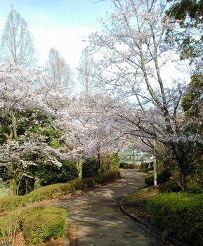 公園の桜0410-5.jpg