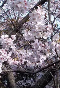公園の桜0410-7.jpg