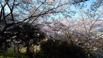 公園の桜0415-6.jpg