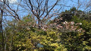 公園の桜3分咲き170404.jpg